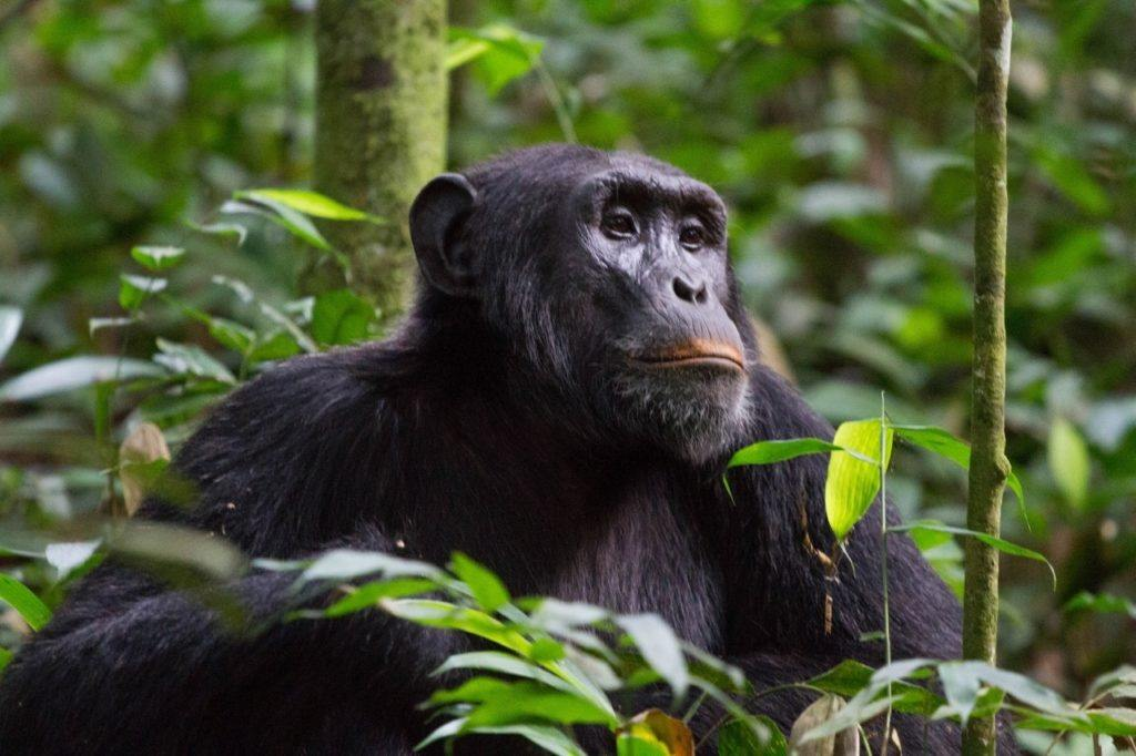 Chimpanzee sitting in the jungle in Uganda.