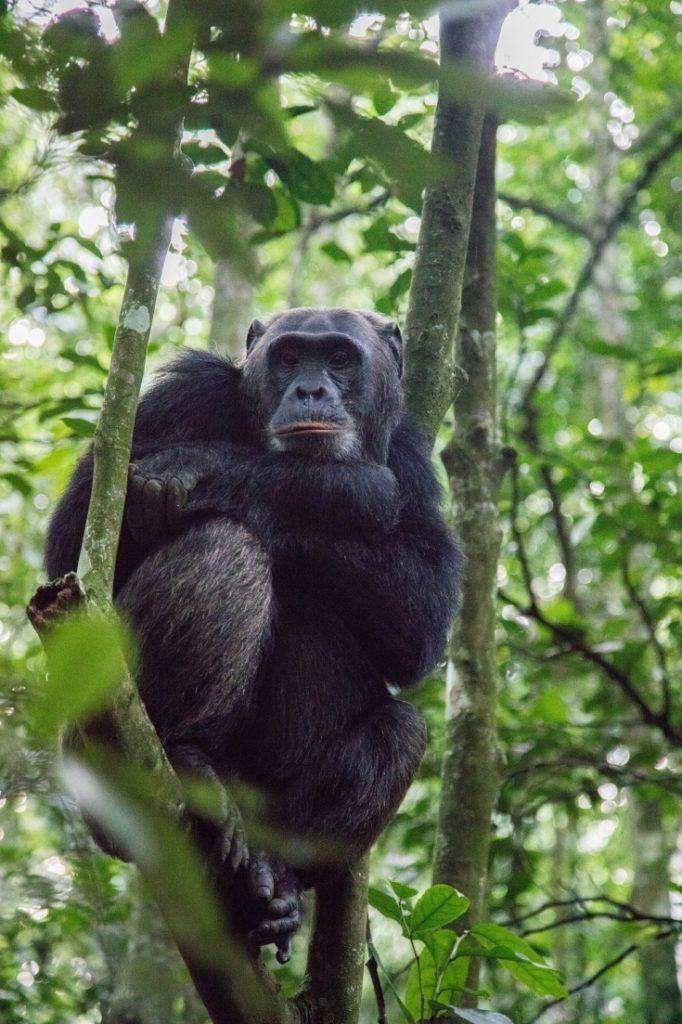 Kibale chimpanzee sitting in tree.