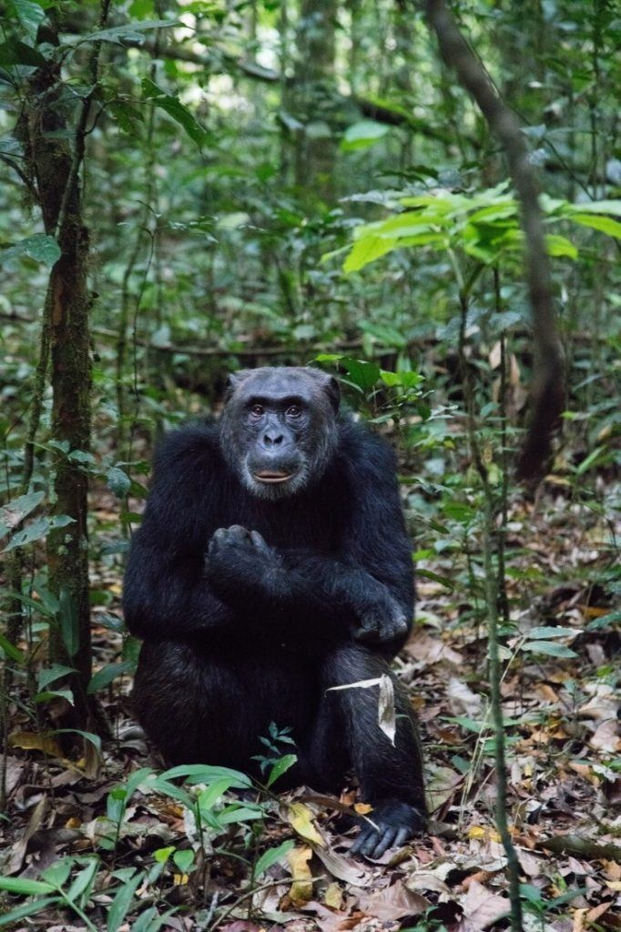 Going on a safari and spending the day with chimpanzees like this old male was our dream.