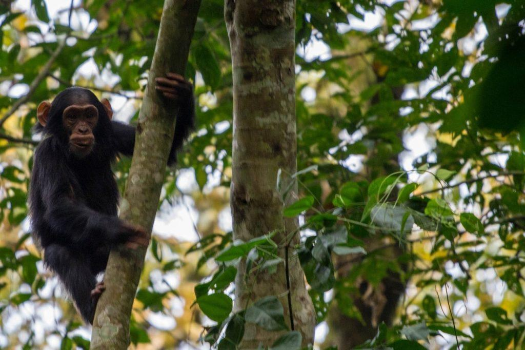 Chimpanzee climbing a tree spotted on our Habituation Experience in Kibale National park, Uganda.