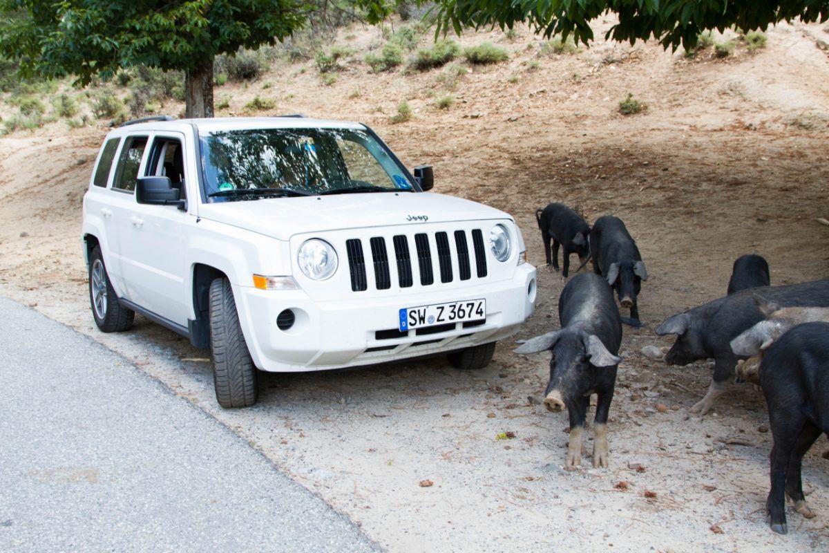 Pig jam in Corsica.