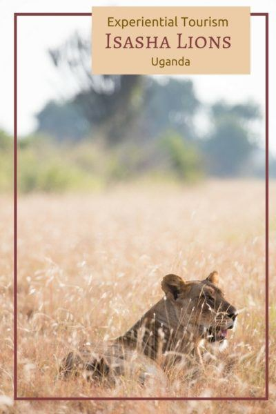 Click here to find out how to see lions in Uganda!
