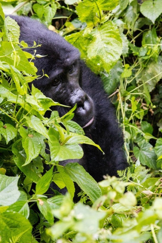 Tracking Mountain Gorillas in Uganda is a bucket list item. Click here to find out how you can get closer to the endangered mountain gorilla in Uganda.