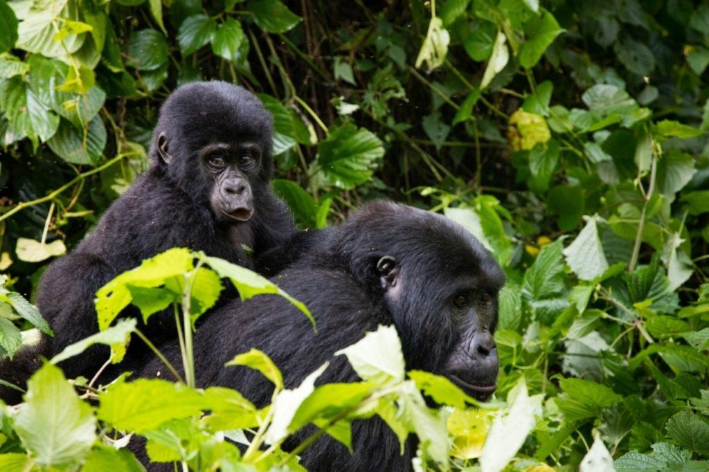 A female gorilla with her baby on her back spotted while tracking the mountain gorillas of Bwindi in Uganda.