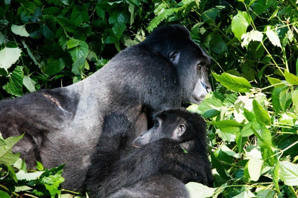 The mountain gorillas of Bwindi in Uganda.