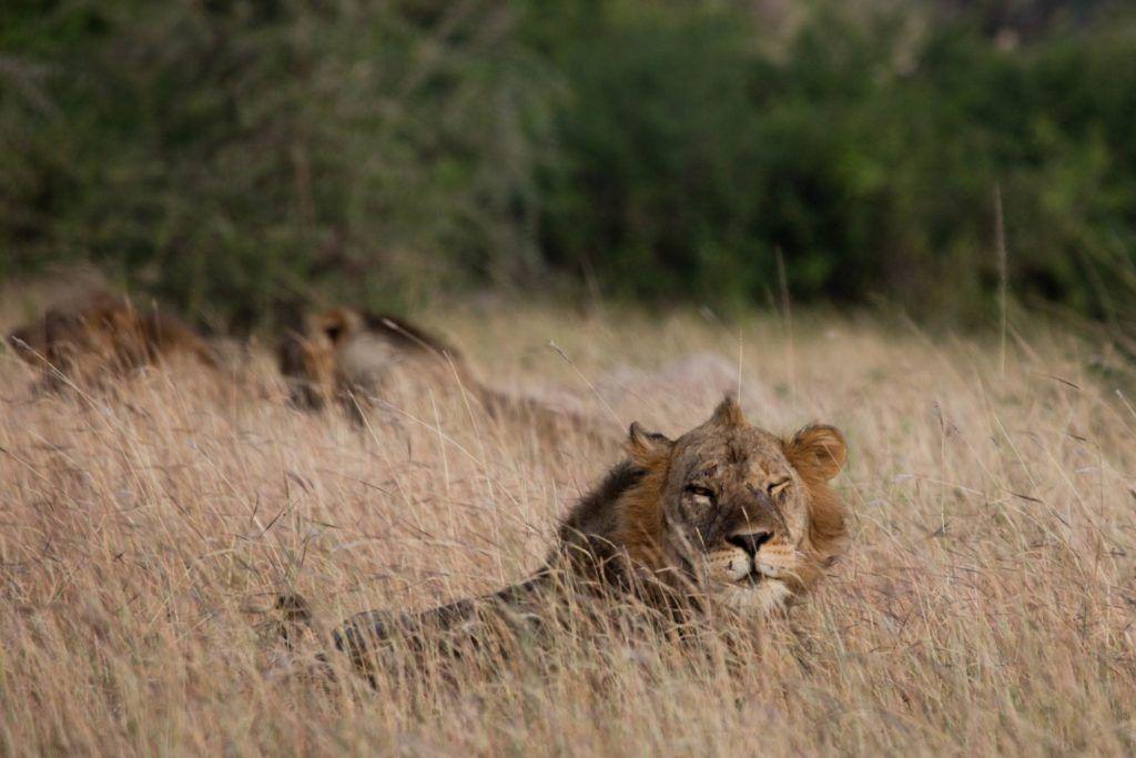 Experiential Tourism - Isasha Lions Uganda