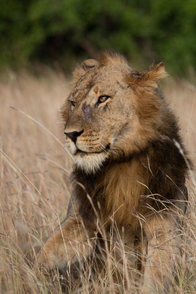 Click here to find out about lions on safari in Uganda.
