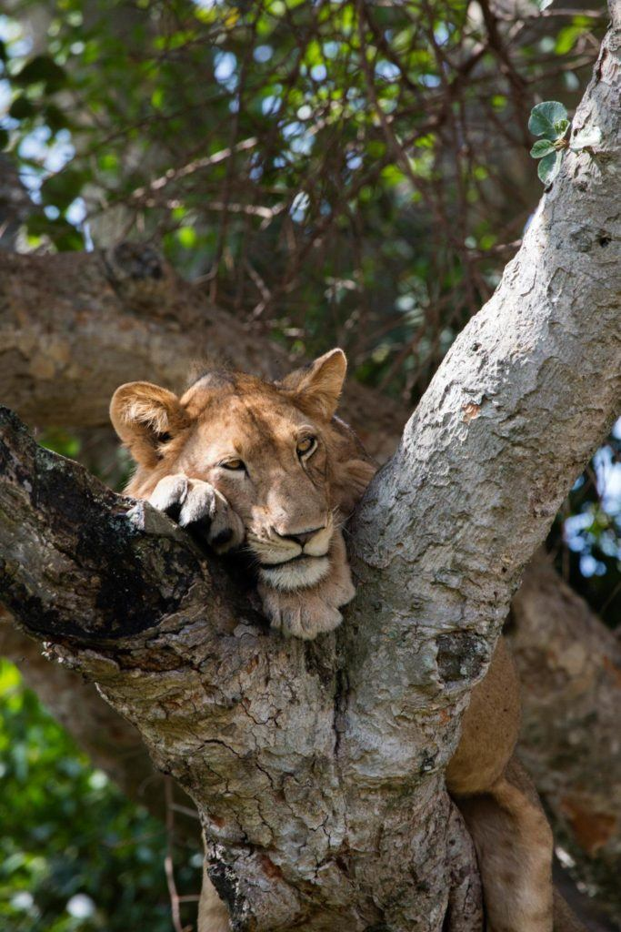 Click here to find out all about the lions and Queen Elizabeth Park in Uganda!