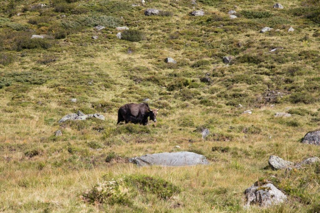 A lonely cow in the high alpine pastures of the Grossglockner High Alpine Road .