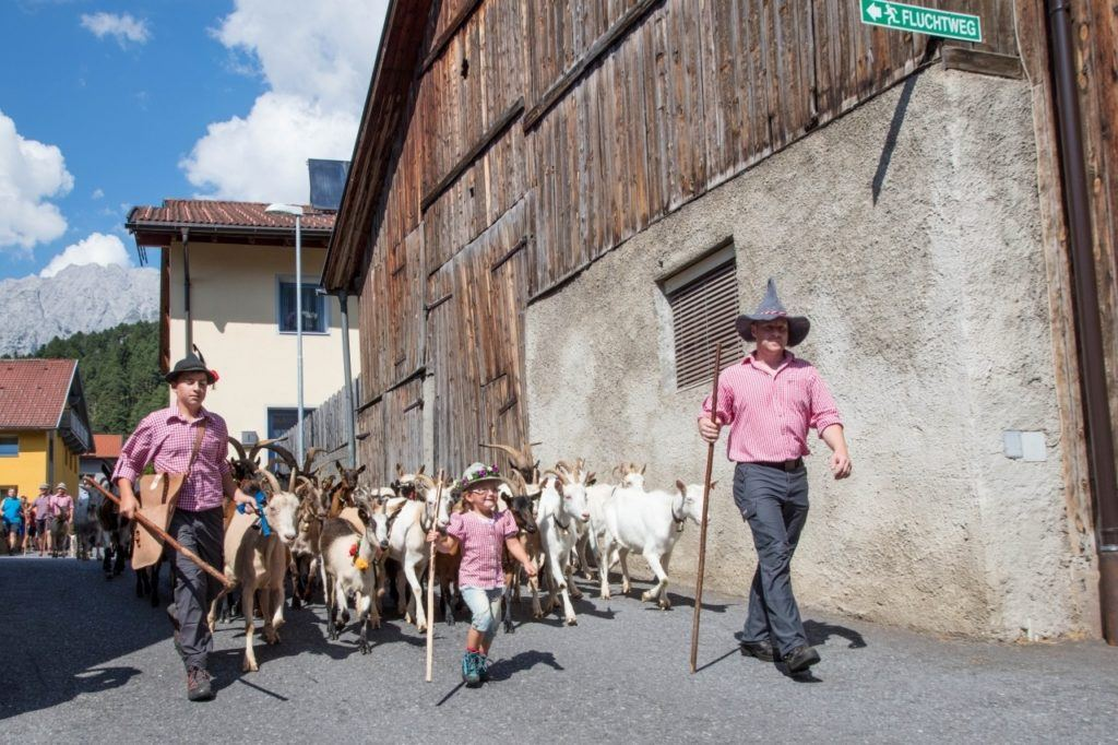 Bringing the goats down from the mountains in Tarrenz, Austria in East Tirol.