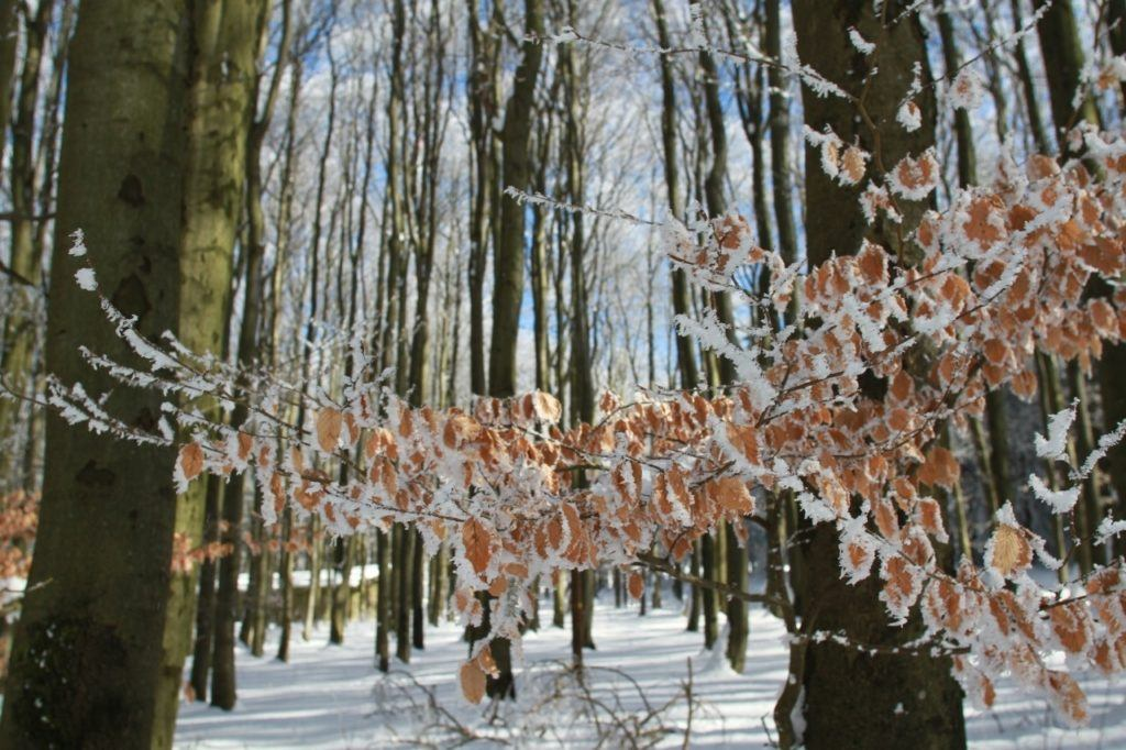 Germany during winter has Snow and ice cling to brown leaves.