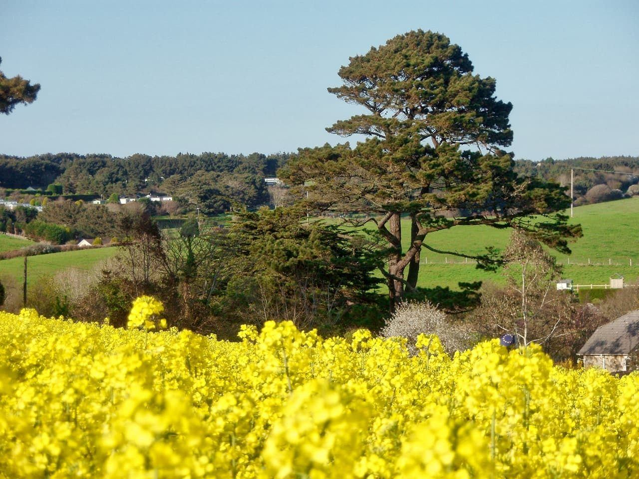 Yellow blooms announce spring in Cornwall.