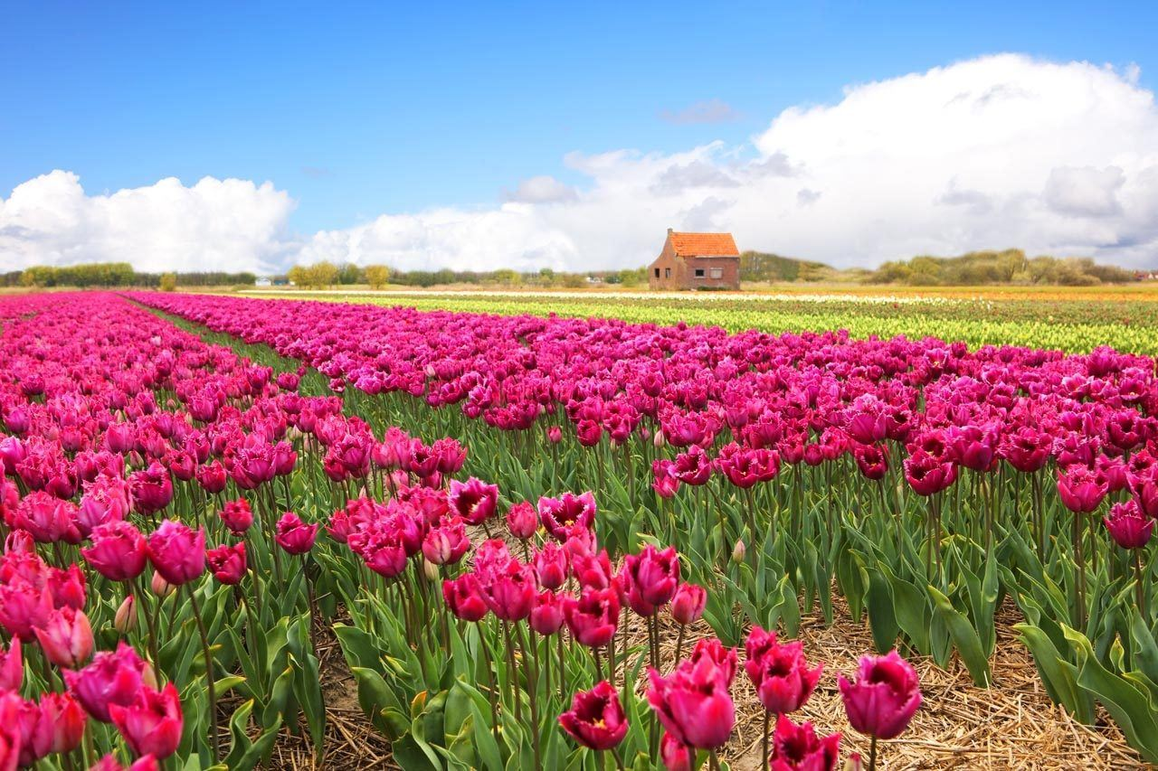 Pink tulips rows and blue skies.