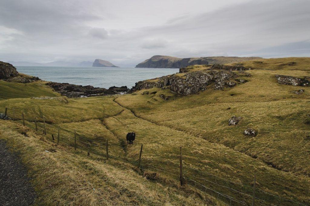 Sheep, water, coast, Faroe Island.
