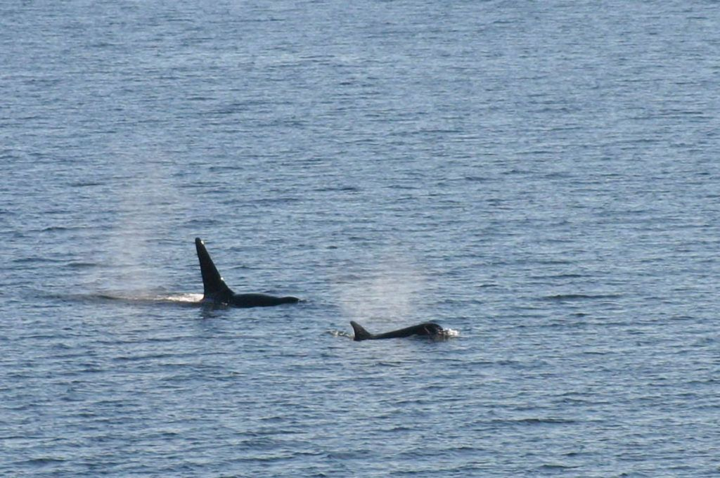 Orcas swim by.