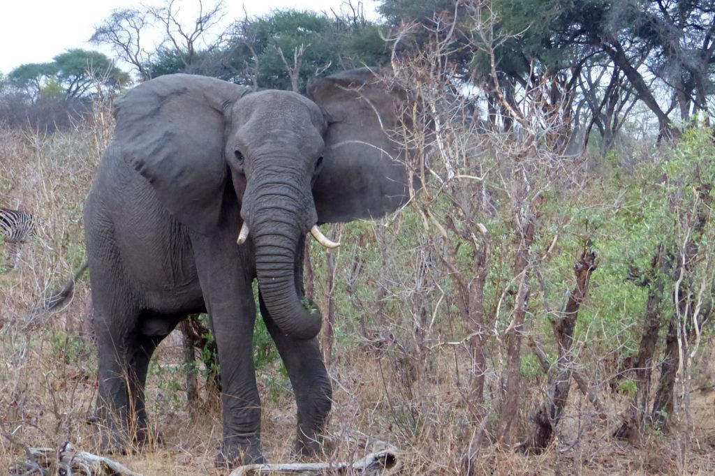 Elephant seen while we were on a safari game drive, the best part of Africa travel.