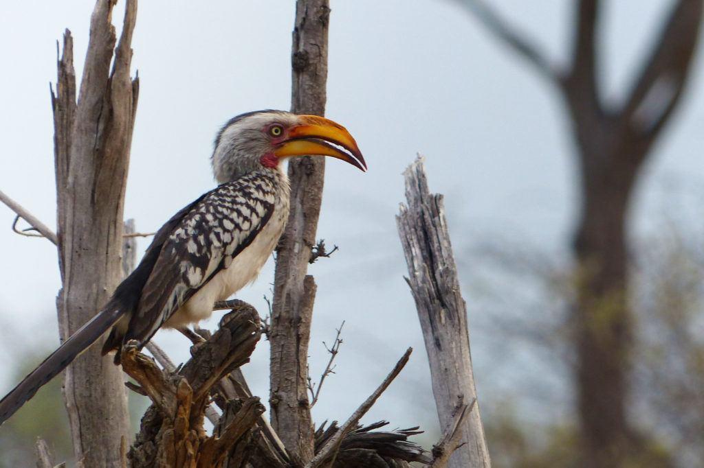 A striking Yellow Hornbill in Hwange National Park in Zimbabwe.