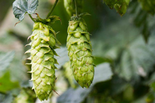 Hops are harvested at the end of summer, ready to make that new beer.