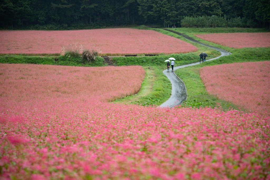 Red Buckwheat Flower fields burst with color during the Furato no Soba festival in Minowa-shi, Nagano Prefecture.