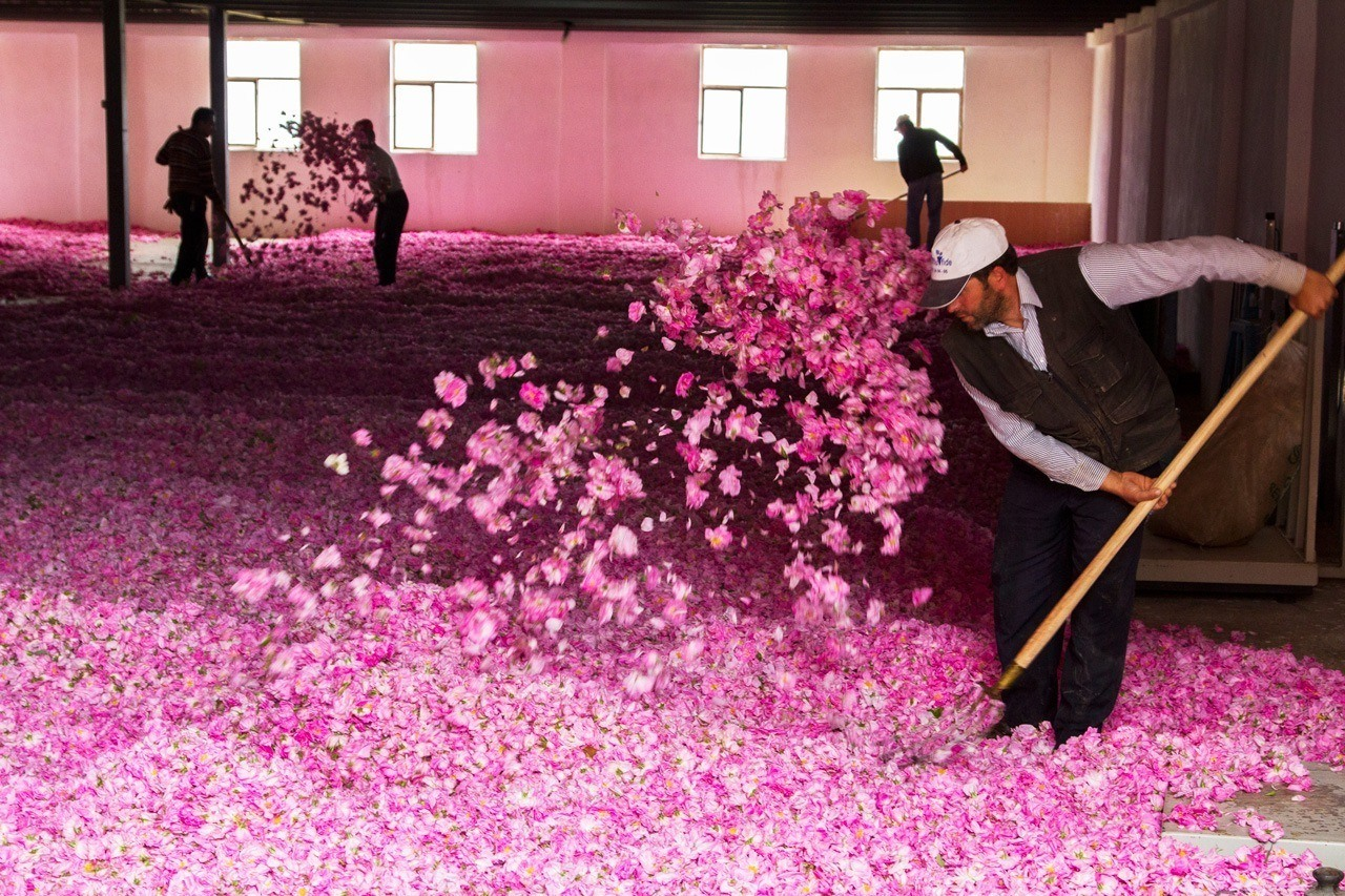 Every spring, hundreds of rose petals are harvested to make beauty products. This is the drying part of the process. Burdur, Turkey