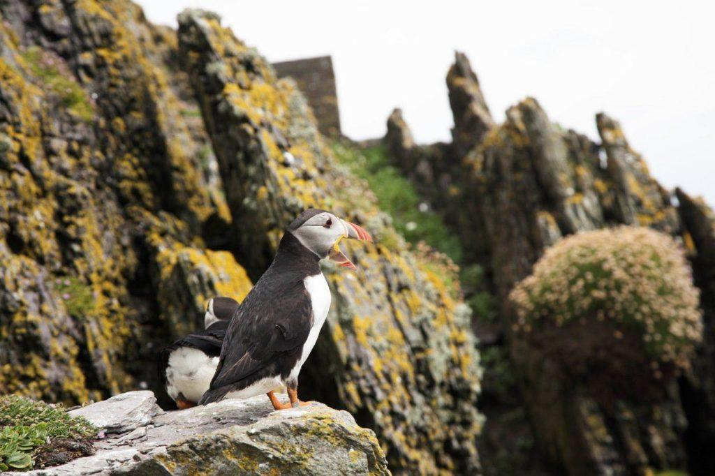 Puffins are everywhere on Skellig Michael, and it's only one of the reasons you would want to go. Ireland.