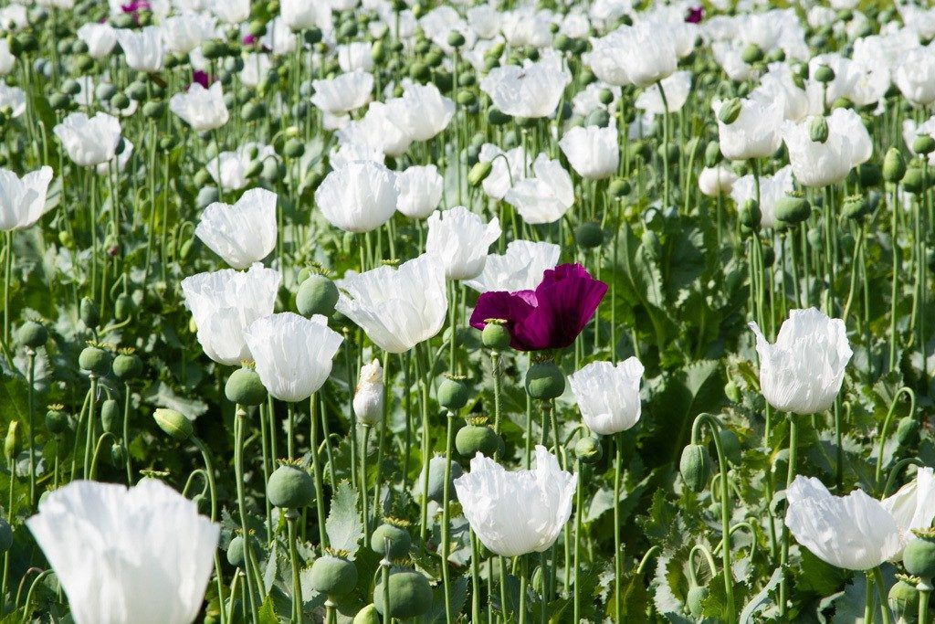 Travel Tips for Turkey include going in summer when you can see fields of beautiful flowers like these poppies.