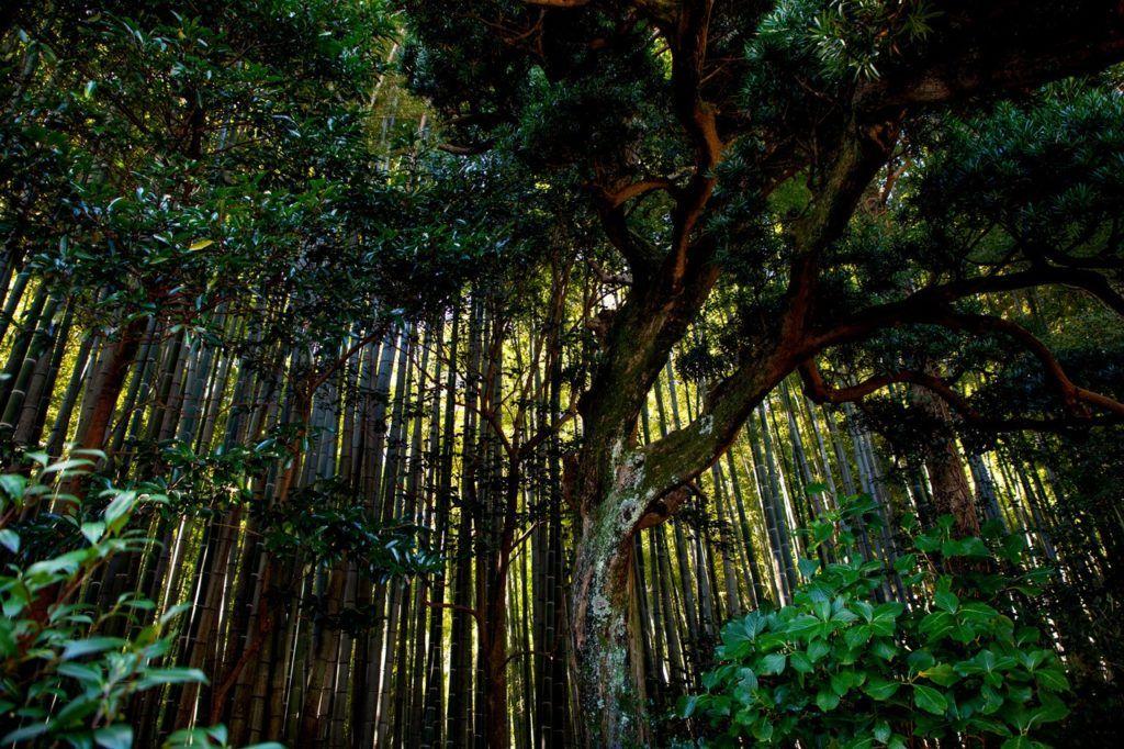 Kamakura Bamboo Forest.