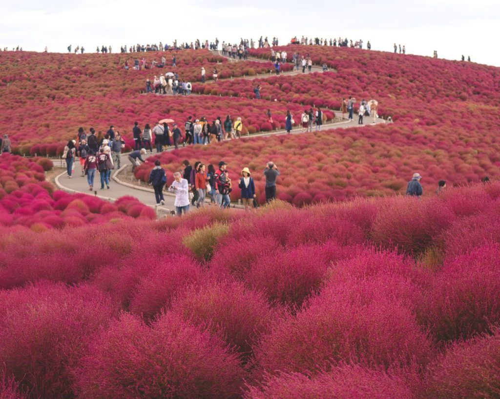 Places to visit in Japan in autumn include Kochia Viewing at Hitachi Seaside Park.