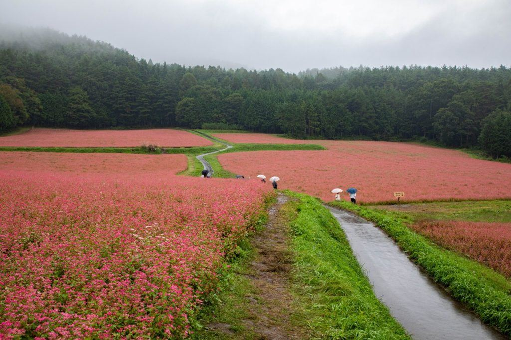 Autumn in Japan sees the fields of red buckwheat bloom in Minowa.