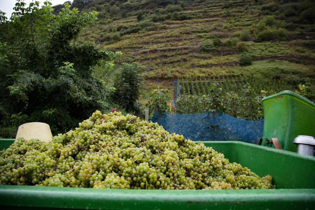 Bernkastel Wine Festival - It all starts with the grapes