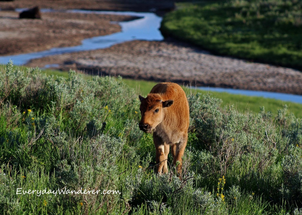 Baby Bison by Everyday Wanderer