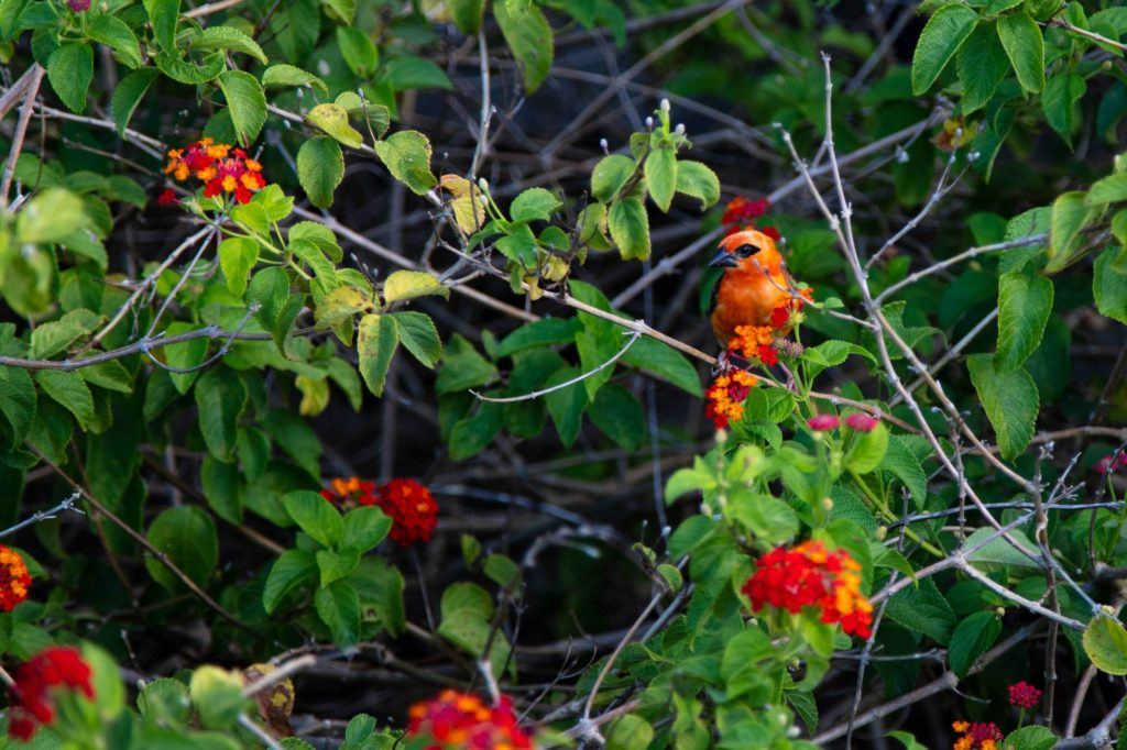 A beautiful red bird in a red berry bush.