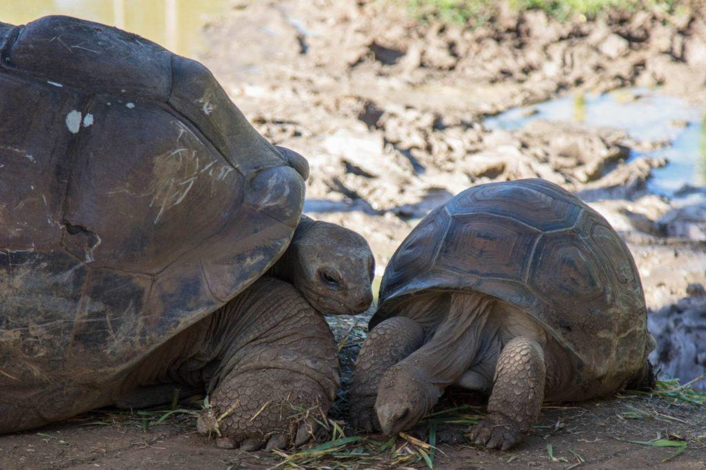 Giant land tortoises can be found all over the island protected in enclosures.