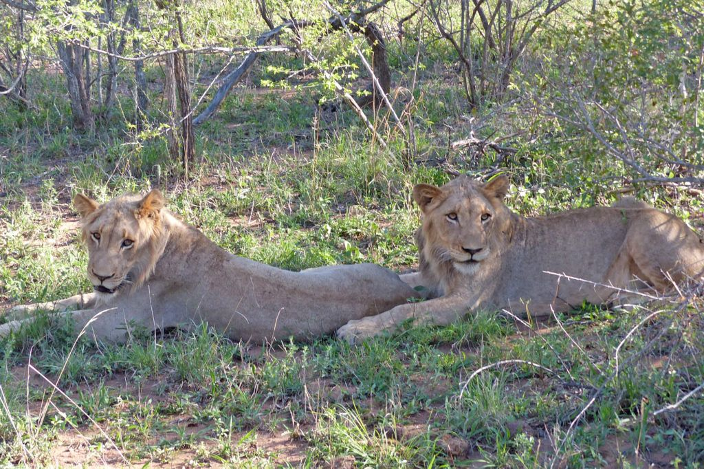A pair of young lion brothers playing in the grass offer us tourists a great African wildlife safari experience.