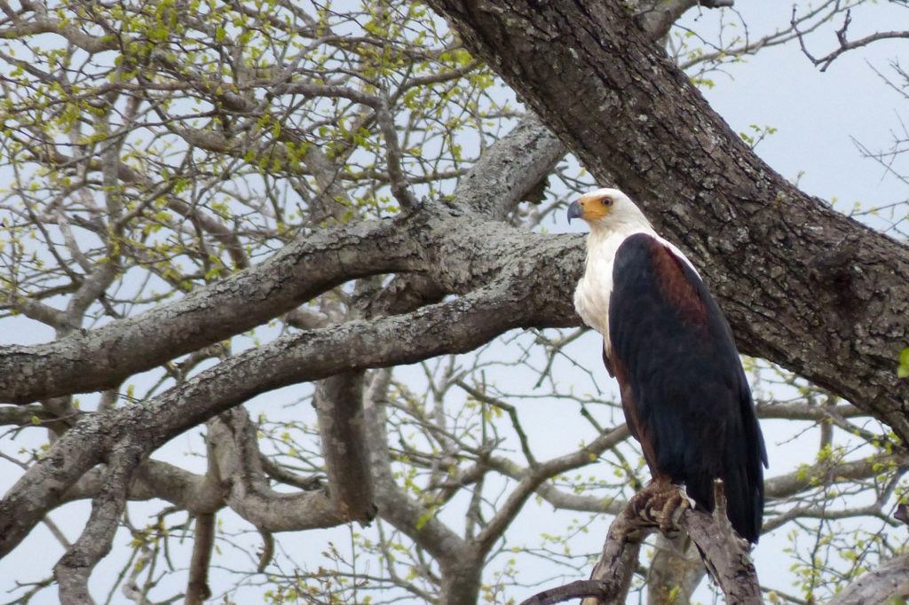 An African Fish Eagle perched high in a tree is really striking with its dark body feathers and white head and chest feathers.