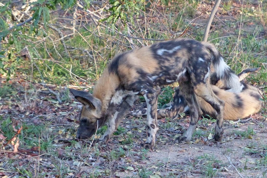 Wild dogs, like this young one at Thornybush, have striking calico-like coloration with black, tan and white spots and patches.