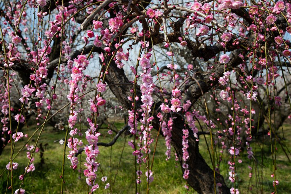 Plum blossoms hang down.