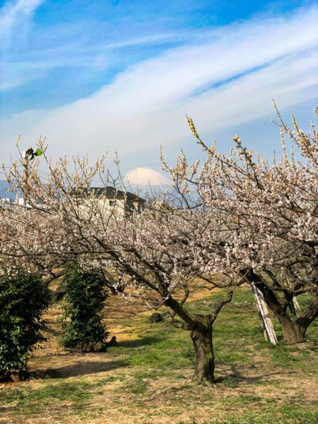 Mt. Fuji pokes its head up over the plum trees.