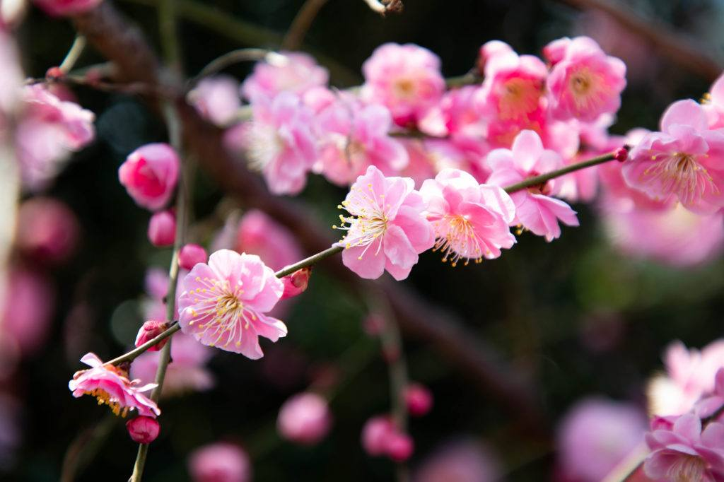 Pink plum blossoms.