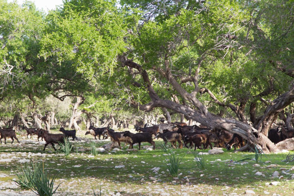 A heard of goats searching for Argan nuts, their favorite food.