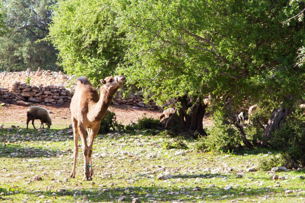 Sheep and a lone camel under the Argan trees near Essaouira.
