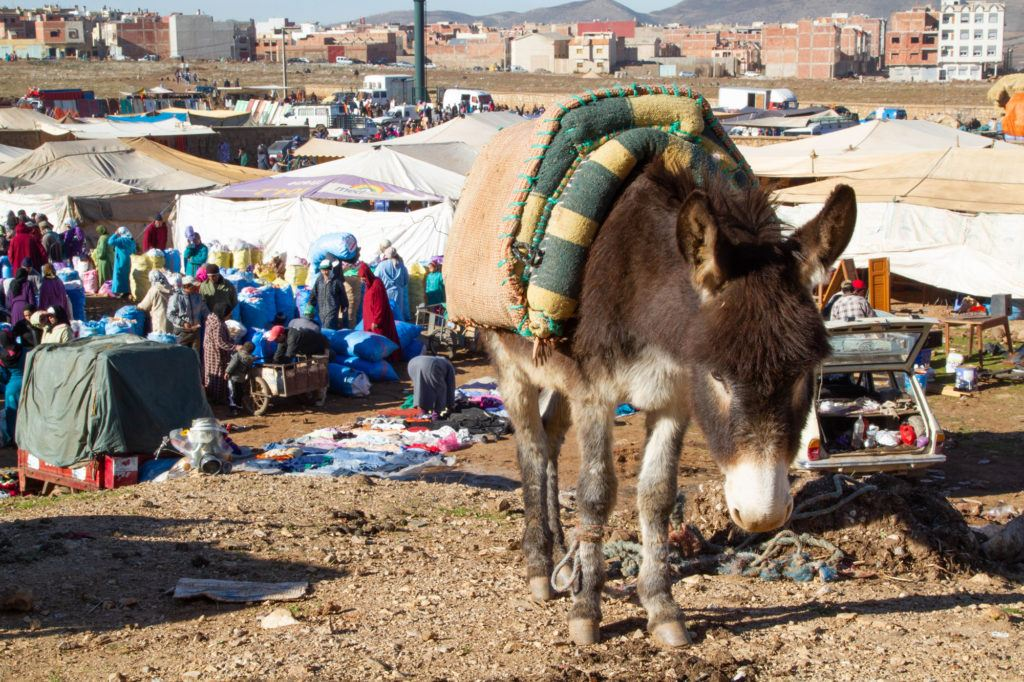 A donkey with a saddle waits for its owner at the Berber market in Azrou, Morocco.