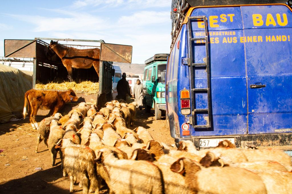 An entire herd of sheep arrive at the Berber market livestock area.
