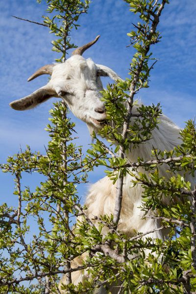 Enroute from Marrakesh to Essaouira, don't miss the amazing tree-climbing goats in Argan trees eating nuts.