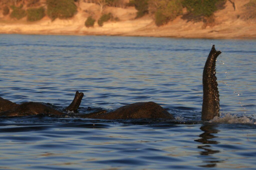 Two elephants snorkeling across the Chobe River.