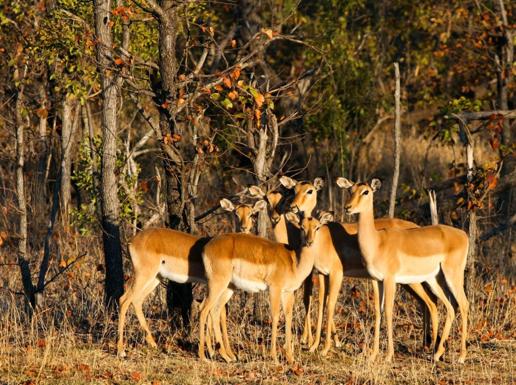 Five impala antelope framed in the evening light in Mosi-oa-Tunya National Park.