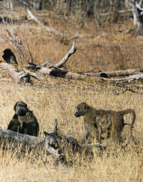 Baboon Family behind a log.