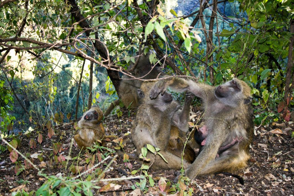 Baboons at Victoria Falls grooming themselves while a baby clings to its mother.
