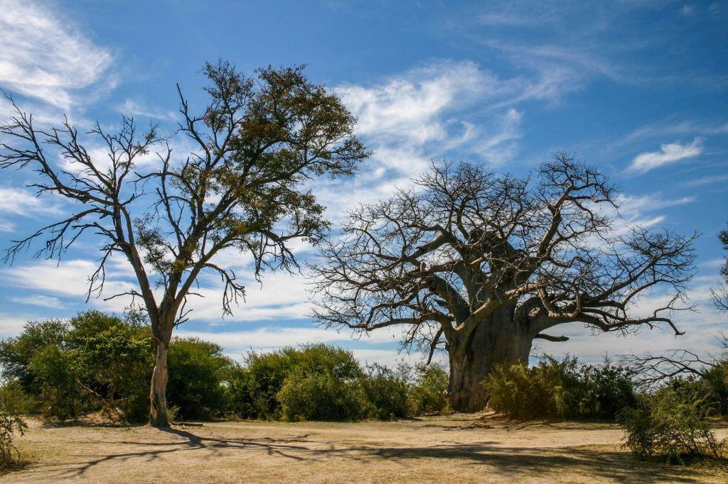 Two Baobab Trees in Botswana, Africa.