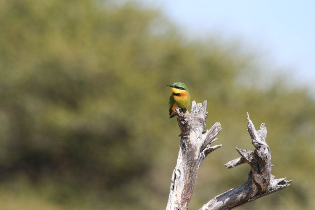 A blue-breasted bee-eater perched on a dead tree limb is oddly named because it's mostly green and yellow.